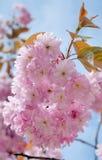 blomningCherry sakura Fotografering för Bildbyråer
