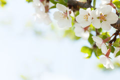 blomningCherry sakura Royaltyfria Foton