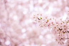 blomningCherry sakura Royaltyfri Foto