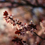 blomningCherry sakura Arkivfoto