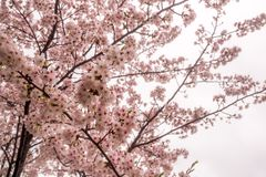 BlomningCherry Sakura blomma på filialen Royaltyfri Fotografi