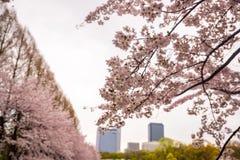 BlomningCherry Sakura blomma på filialen Royaltyfri Foto