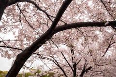 BlomningCherry Sakura blomma på filialen Arkivbild