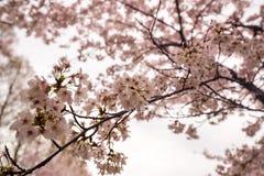 BlomningCherry Sakura blomma på filialen Fotografering för Bildbyråer