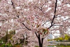 BlomningCherry Sakura blomma på filialen Royaltyfria Foton