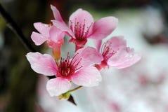 blomningCherry taiwan Arkivfoto