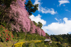 blomningCherry thailand Royaltyfri Bild