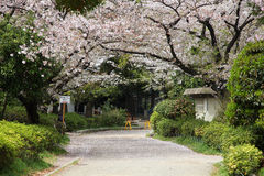 blomningCherry tokyo Royaltyfri Fotografi
