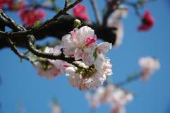 blomningCherry tokyo Royaltyfria Foton
