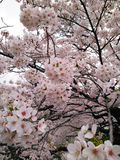 blomningCherry tokyo Royaltyfri Foto