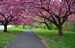 blomningCherrybana Royaltyfri Fotografi