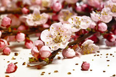 blomningCherryblomma royaltyfria bilder