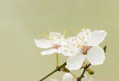 blomningCherryblommor Royaltyfri Bild