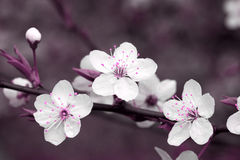 blomningCherryclose upp Royaltyfria Bilder