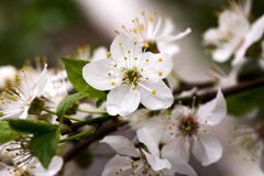 blomningCherryclose upp Arkivfoto