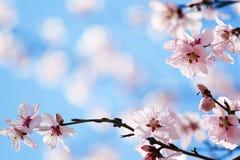blomningCherryfjäder Arkivbilder