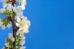 blomningCherryfjäder Arkivfoton