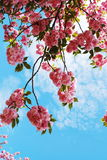 blomningCherryjapan Royaltyfria Bilder