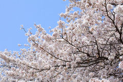 blomningCherryjapan sakura Arkivfoton