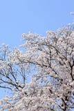 blomningCherryjapan sakura Royaltyfri Fotografi