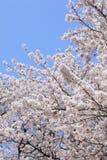 blomningCherryjapan sakura Royaltyfria Bilder