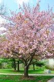 blomningCherryjapan sakura Royaltyfri Bild