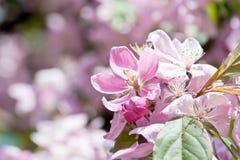 blomningCherrymakro royaltyfria bilder
