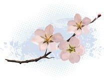 blomningCherrypink Arkivfoto