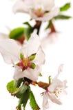 blomningCherrypink Royaltyfri Bild