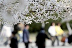 blomningCherrysäsong Fotografering för Bildbyråer