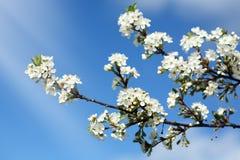 blomningCherrytid Arkivfoto