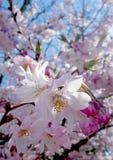 blomningCherrytree arkivbild