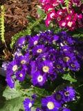 Blomningcineraria i trädgård royaltyfri foto