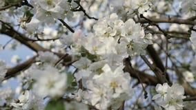 Blomningcrabapple Filialer av fruktträdet i vår Closeup för vita blommor lager videofilmer
