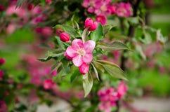 Blomningcrabappleblom Royaltyfria Bilder