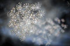 Blomningdillmakro arkivfoto