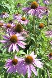 BlomningEchinacea som används som en medicinalväxt Royaltyfri Fotografi