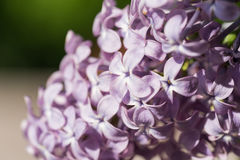 Blomningen av den purpurfärgade lilan i trädgården Royaltyfri Fotografi