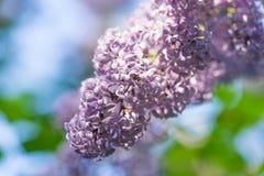 Blomningen av den purpurfärgade lilan i trädgården Arkivbilder