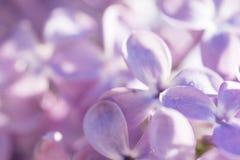 Blomningen av den purpurfärgade lilan i trädgården Royaltyfri Foto