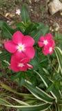 Blomningen av den röda blomman Royaltyfria Foton