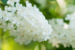 Blomningen av den vita lilan i trädgården Royaltyfria Foton