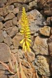 Blomningen av en aloe Vera Cactus Arkivbild