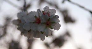 Blomningen av mandelträdet royaltyfri foto