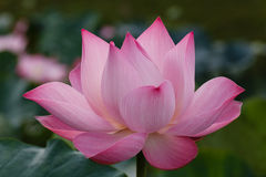 Blomningen av rosa Lotus Arkivfoto