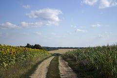 Blomningen av solrosen och mogen havre och vete i ett fält royaltyfri bild