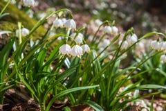 Blomningen av springflower i våren i den tidiga våren, groende av de första gräsplanerna snöar från under, Ukraina Carpathians Arkivfoto