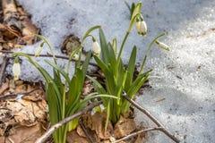 Blomningen av springflower i våren i den tidiga våren, groende av de första gräsplanerna snöar från under, Ukraina, Carpathians Arkivbilder