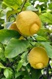 blomningen bär fruktt citronen Fotografering för Bildbyråer
