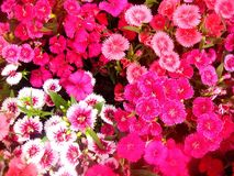 Blomningen blomma, blommar Arkivfoto